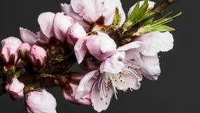 Χρονικό σφάλμα της όμορφης ρόδινης άνθησης λουλουδιών ροδάκινων απόθεμα βίντεο