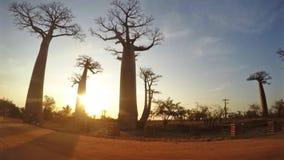 Χρονικό σφάλμα των αδανσωνιών στο morondava Μαδαγασκάρη απόθεμα βίντεο