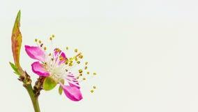 Χρονικό σφάλμα άνθησης λουλουδιών ροδάκινων φιλμ μικρού μήκους