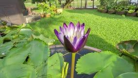Χρονικό σφάλμα βιντεοσκοπημένων εικονών που ανοίγει waterlily Το λουλούδι Lotus είναι ανθίζοντας 4K απόθεμα βίντεο
