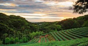 Χρονικό σφάλμα του ηλιοβασιλέματος κήπων τσαγιού με το συμπαθητικό υπόβαθρο απόθεμα βίντεο