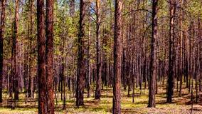 Χρονικό σφάλμα του κωνοφόρου δάσους στην ηλιόλουστη θερινή ημέρα καθορισμός υψηλός απόθεμα βίντεο
