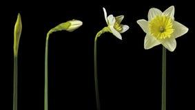 Χρονικό σφάλμα Daffodil Στοκ Φωτογραφία