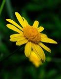 χρυσάνθεμο κίτρινο Στοκ φωτογραφίες με δικαίωμα ελεύθερης χρήσης