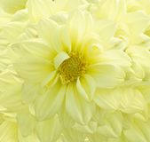 χρυσάνθεμο κίτρινο στοκ εικόνες
