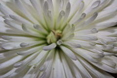 Χρυσάνθεμο κινηματογραφήσεων σε πρώτο πλάνο φύσης εγκαταστάσεων πετάλων χρώματος λουλουδιών Στοκ Φωτογραφία