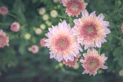 χρυσάνθεμο λουλουδιών Στοκ Εικόνες