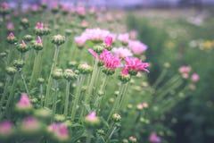 χρυσάνθεμο λουλουδιών Στοκ φωτογραφία με δικαίωμα ελεύθερης χρήσης