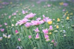 χρυσάνθεμο λουλουδιών Στοκ Εικόνα