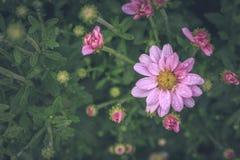 χρυσάνθεμο λουλουδιών Στοκ φωτογραφίες με δικαίωμα ελεύθερης χρήσης