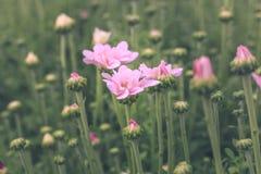 χρυσάνθεμο λουλουδιών Στοκ εικόνα με δικαίωμα ελεύθερης χρήσης