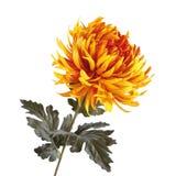 Χρυσάνθεμο που απομονώνεται πορτοκαλί στο λευκό στοκ εικόνες