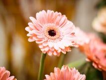 Χρυσάνθεμο στο ροζ σε μια όμορφη αντιπροσώπευση Στοκ φωτογραφίες με δικαίωμα ελεύθερης χρήσης