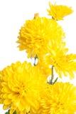 Χρυσάνθεμο Όμορφο λουλούδι στο ελαφρύ υπόβαθρο Στοκ εικόνα με δικαίωμα ελεύθερης χρήσης