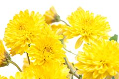 Χρυσάνθεμο Όμορφο λουλούδι στο ελαφρύ υπόβαθρο Στοκ φωτογραφία με δικαίωμα ελεύθερης χρήσης