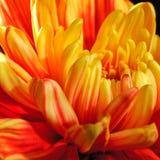 Χρυσάνθεμο Yello Στοκ φωτογραφία με δικαίωμα ελεύθερης χρήσης