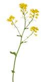 Χρυσά άγρια λουλούδια μουστάρδας στο λευκό Στοκ φωτογραφίες με δικαίωμα ελεύθερης χρήσης