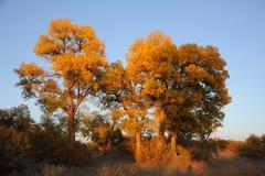 Χρυσά δέντρα λευκών Στοκ εικόνες με δικαίωμα ελεύθερης χρήσης