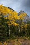 Χρυσά δέντρα της Aspen στο εθνικό πάρκο Banff, Αλμπέρτα, Καναδάς στοκ φωτογραφίες