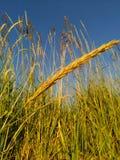 Χρυσά αυτιά στον τομέα που φωτίζεται από τον ήλιο ενάντια στο μπλε ουρανό στοκ φωτογραφία με δικαίωμα ελεύθερης χρήσης