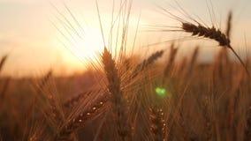 Χρυσά αυτιά του σίτου στον τομέα στο ηλιοβασίλεμα στενός ώριμος επάνω σίτος &alp Όμορφο σκηνικό των ωριμάζοντας αυτιών χρυσού απόθεμα βίντεο