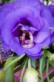 Χρυσά γαμήλια δαχτυλίδια στα eustomas Στοκ Εικόνες