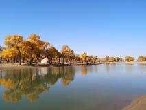 χρυσά δέντρα λευκών στοκ φωτογραφίες με δικαίωμα ελεύθερης χρήσης