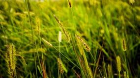 Χρυσά ιαπωνικά silvergrass στοκ φωτογραφίες