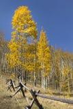 Χρυσά κίτρινα δέντρα της Aspen φθινοπώρου κατά μήκος του διασπασμένου φράκτη κούτσουρων ραγών Στοκ Φωτογραφία