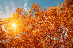 Χρυσά, κίτρινα και πορτοκαλιά φύλλα κάτω από τις ηλιαχτίδες από το μπλε ουρανό η κινηματογράφηση σε πρώτο πλάνο ανασκόπησης φθινο Στοκ Φωτογραφία