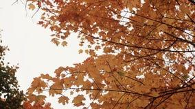 Χρυσά κίτρινα πορτοκαλιά φύλλα σφενδάμου κατά την άποψη πάρκων φθινοπώρου από κάτω από φιλμ μικρού μήκους