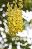 Χρυσά λουλούδια δέντρων ντους Στοκ Εικόνες