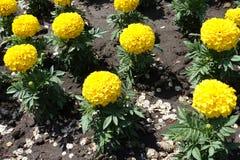 Χρυσά λουλούδια των εγκαταστάσεων erecta tagetes Στοκ φωτογραφία με δικαίωμα ελεύθερης χρήσης