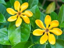 Χρυσά λουλούδια gardenia Στοκ φωτογραφία με δικαίωμα ελεύθερης χρήσης