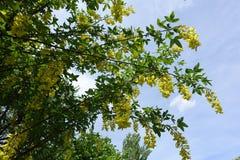 Χρυσά λουλούδια Laburnum anagyroides Στοκ Εικόνες