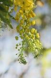Χρυσά λουλούδια δέντρων ντους Στοκ Εικόνα