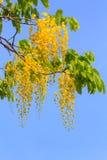 Χρυσά λουλούδια δέντρων ντους Στοκ φωτογραφία με δικαίωμα ελεύθερης χρήσης