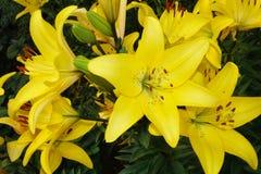 Χρυσά λουλούδια κρίνων Στοκ Εικόνες
