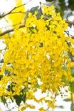Χρυσά λουλούδια ντους. Στοκ φωτογραφία με δικαίωμα ελεύθερης χρήσης