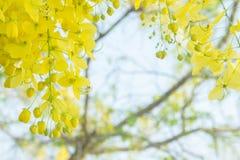 Χρυσά λουλούδια ντους, yellowe λουλούδια το καλοκαίρι Ταϊλάνδη Στοκ φωτογραφία με δικαίωμα ελεύθερης χρήσης