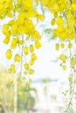 Χρυσά λουλούδια ντους, yellowe λουλούδια το καλοκαίρι Ταϊλάνδη Στοκ φωτογραφίες με δικαίωμα ελεύθερης χρήσης
