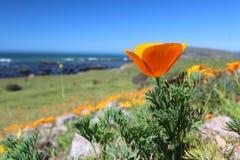 Χρυσά λουλούδια παπαρουνών κατά μήκος του Ειρηνικού Ωκεανού, μεγάλο Sur, Καλιφόρνια, ΗΠΑ Στοκ Φωτογραφίες