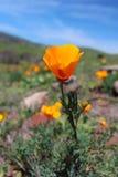 Χρυσά λουλούδια παπαρουνών Καλιφόρνιας, μεγάλη ακτή Sur, Καλιφόρνια, ΗΠΑ Στοκ φωτογραφία με δικαίωμα ελεύθερης χρήσης