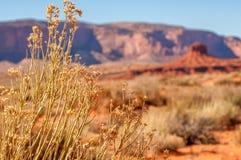 Χρυσά λουλούδια της ερήμου και της πλήμνης Στοκ Φωτογραφίες