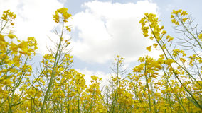Χρυσά λουλούδια του τομέα canola Στοκ Εικόνα