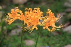 Χρυσά λουλούδια Lycoris Στοκ Φωτογραφίες