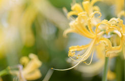 Χρυσά λουλούδια Lycoris Στοκ Εικόνες