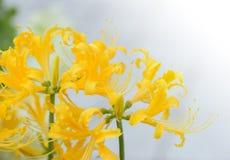 Χρυσά λουλούδια Lycoris Στοκ εικόνα με δικαίωμα ελεύθερης χρήσης