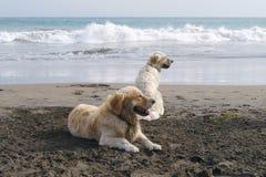 Χρυσά σκυλιά ονείρου στοκ εικόνες