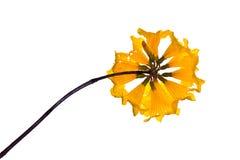 Χρυσά λουλούδια Campanula Στοκ φωτογραφία με δικαίωμα ελεύθερης χρήσης